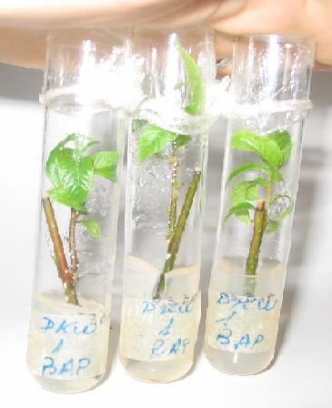 Microestacas de pecán (Carya illinoensis)